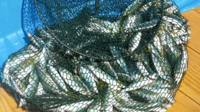 Изчезват ли калканът и сафридът в Черно море?